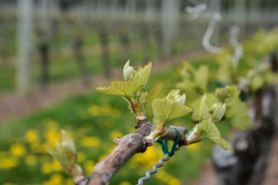 Bud burst at the Macari vineyard