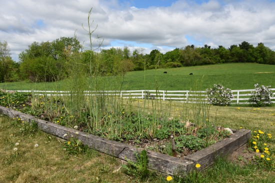 Gorgeous composted asparagus beds in front of the Gibson family home