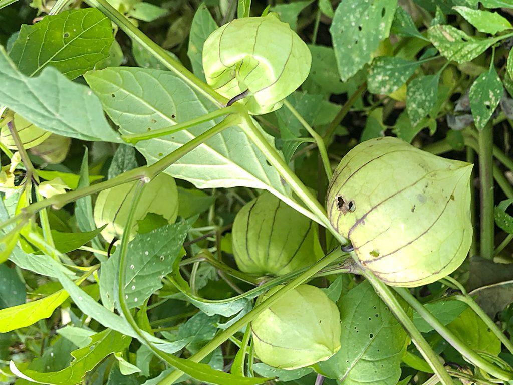Harvesting tomatillo in Estia's garden