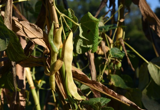 Pole Beans drying on the Vine